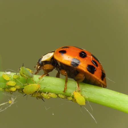 Ladybird aanvallen Bladluizen op de bedreigde planten-
