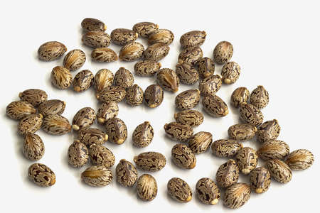 laxative: Castor oil seeds-Ricinus communis