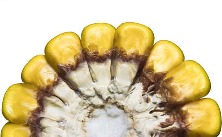 yeloow: Close up of corn on the cob (cross section) isolation on white