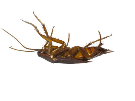 varmint: Dead cockroach ,isolated on white