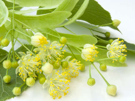 basswood: Linden flowers on a white background