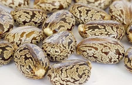 Castor oil seeds-ricinus communis Stock Photo - 18618883