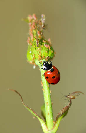 Ladybird attacking aphids on the endagered plant Stock Photo