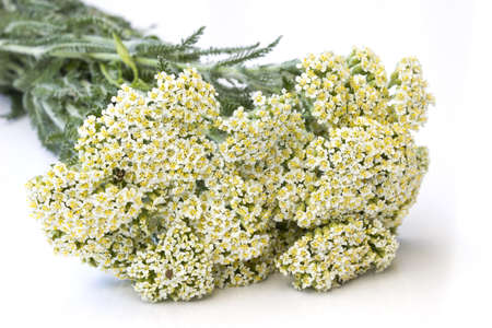 Yarrow herb ( Achillea millefolium ) - close up photo