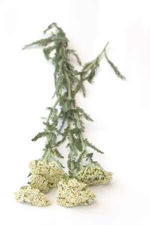 Milfoil (Yarrow )-Achillea millefolium Stock Photo - 19801703