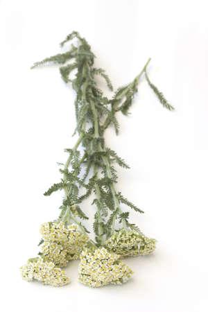 Milfoil (Yarrow )-Achillea millefolium Stock Photo - 19801703