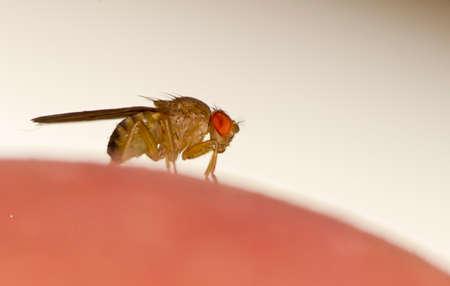 insecto: Mosca de la fruta Drosophila malanogastar en la superficie de manzanas