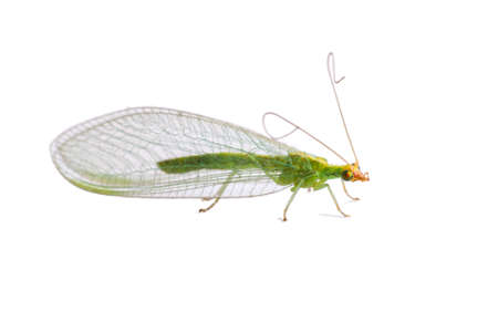 chrysoperla: Green lacewing  Chrysoperla carnea  isolated on white background Stock Photo