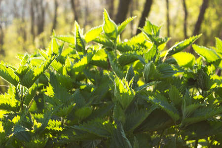 allergic ingredients: Nettle background, herb in nature in the  back light Stock Photo