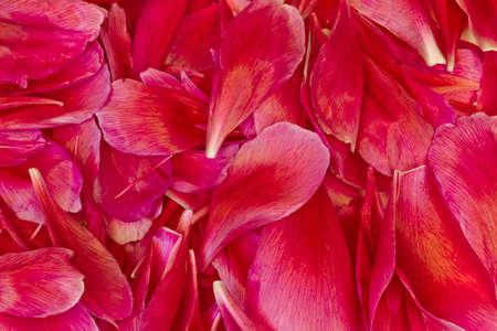 花びら: Background of the red peony flower petals