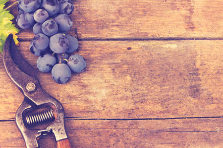 hedge clippers: Grapes and grape scissors on a wooden rustic background - applied vintage, retro effect