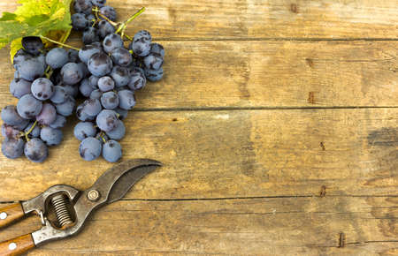 Grapes and grape scissors on a wooden rustic background