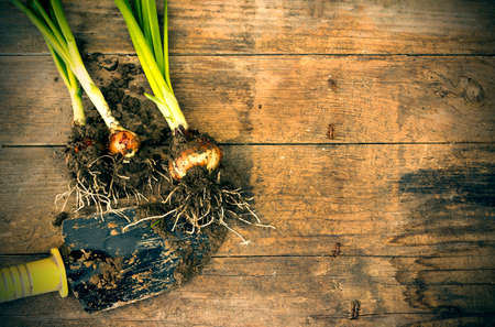 wood agricultural: Spring onions.Organic vegetables freshly picked and placed on a wooden board