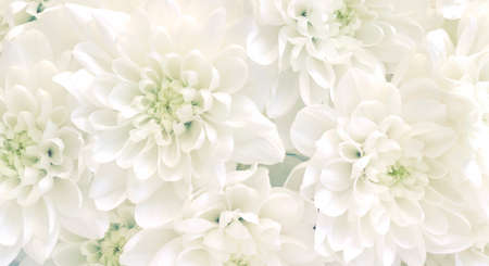 White chrysanthemum flowers.High key soft images