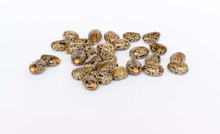 purgative: Castor oil seeds  (Ricinus Communis) isolated on white