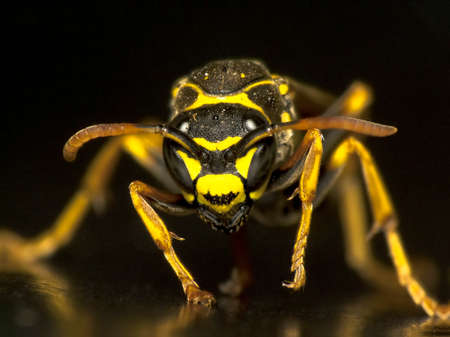 poisonous insect: Wasp looking head-on against black background