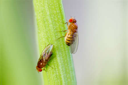 Twosome fruit flies sitting on of grass with green foliage background
