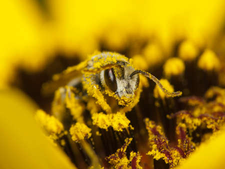 꿀벌 꽃가루에 노란 꽃으로 덮여 스톡 콘텐츠