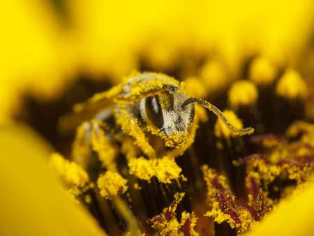 Bee recouvert de pollen sur une fleur jaune