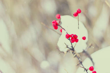 Close-up of berries on a tree during winter. Vintage filters applied.