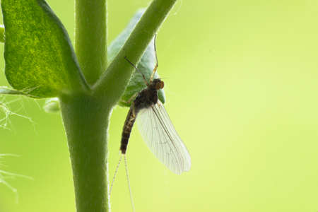 Mayflies or shadflies sitting on the grass
