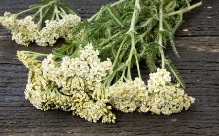 yarrow: White Yarrow (Achillea millefolium) flowers on the table. Stock Photo
