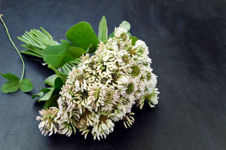 A bouquet of white clover flowers Stock Photo