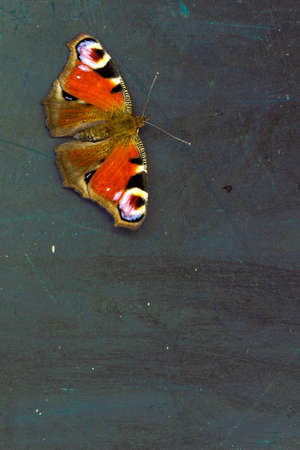 io: Colorful butterfly (Aglais io) on a dark wooden table surface