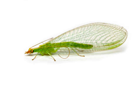 Golden eye lacewing isolated on a white background