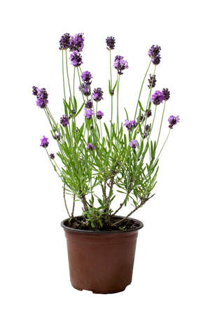 Lavender in pot isolated on white background Stock Photo