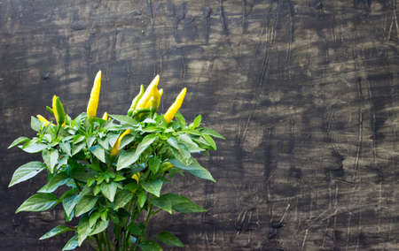 Fresh hot pepper in front of a black wooden background