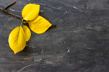 Yellow autumn leaves with twig on a black wooden background Stock Photo