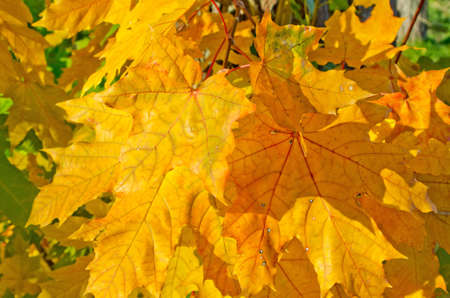 indian summer: Background from yellowed maple leaves in Indian Summer Stock Photo