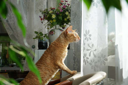 Red Cat look out of window with curiosity, standing on armchair Zdjęcie Seryjne