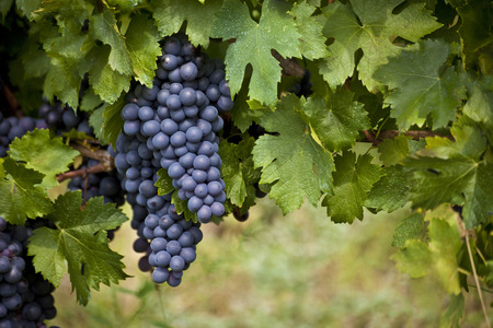 ツルのブドウの赤熟した房 写真素材