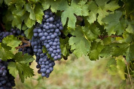 Tas de raisins rouges mûrs sur une vigne Banque d'images - 28137631