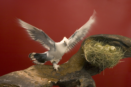 pigeon egg: dove with outstretched wings on a red