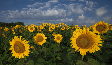 sunflowers under the sky photo