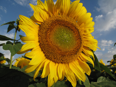 yellow sunflower on blue sky with white clouds photo