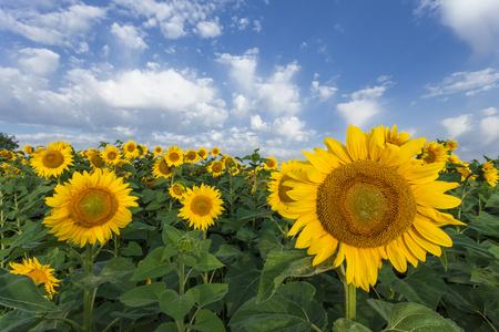 Sunflowers field  The summer light  photo