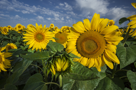 Close-up of blooming sunflowers under cloudy blue sky photo