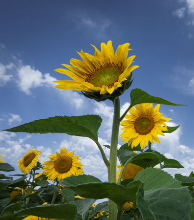 Summer landscape with sunflower field over cloudy blue sky photo