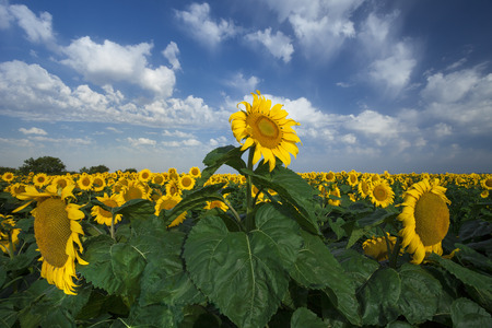 sunflower field over cloudy blue sky photo