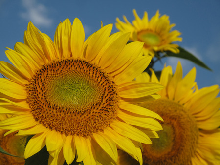 the next life: Blooming sunflowers under amazing cloudy blue sky Stock Photo