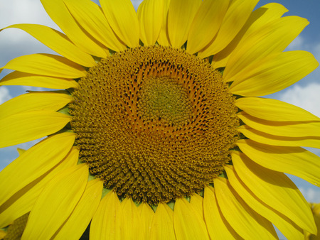 blooming sunflower on blue sky photo