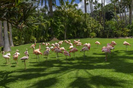 A flock of pink flamingos grazing on a green meadow beside the pond, Loro parque, Tenerife 写真素材