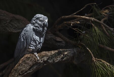 Beautiful big grey parrot stay on the tree 写真素材