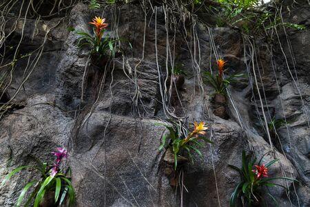 Beautiful rocks with colorful plants.Guzmania lingulata