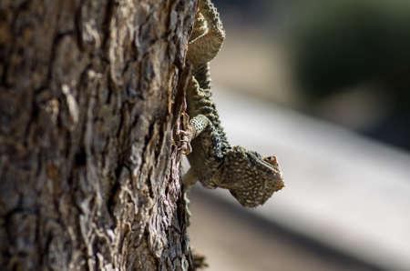 Close up of a lizard climbing a tree