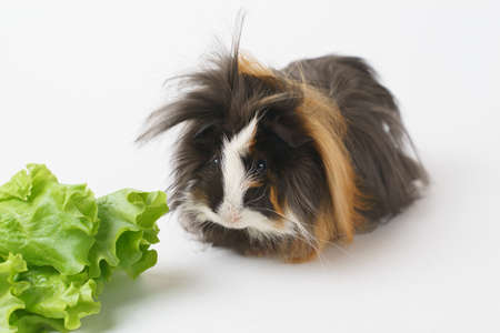 guinea pig chewing green salad leaf at home - animals food and domestic pets concept .